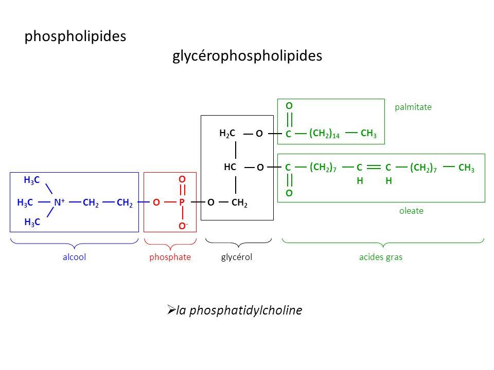 glycérolacides grasphosphatealcool HC O H2CH2C CH 2 O O-O- H3CH3C CH 3 (CH 2 ) 14 CHCH (CH 2 ) 7 CHCH O OPN+N+ C O H3CH3C H3CH3C C O O palmitate oleate la phosphatidylcholine phospholipides glycérophospholipides