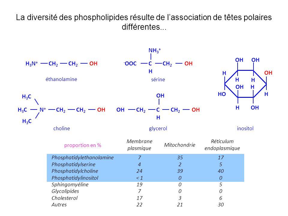 La diversité des phospholipides résulte de lassociation de têtes polaires différentes...