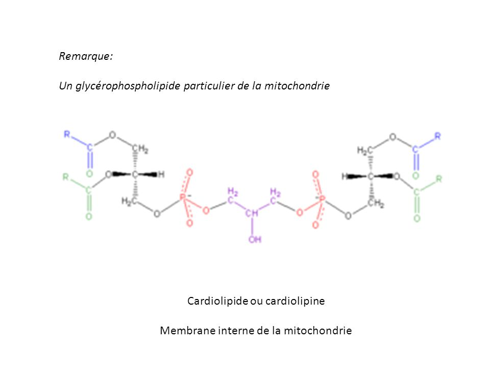 Remarque: Un glycérophospholipide particulier de la mitochondrie Cardiolipide ou cardiolipine Membrane interne de la mitochondrie