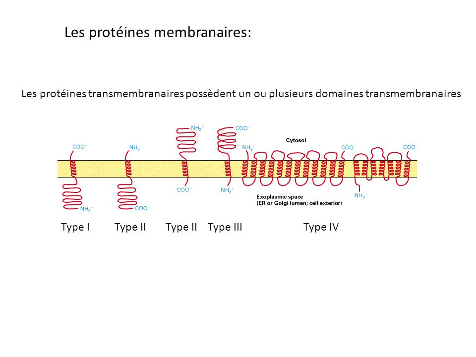 Les protéines transmembranaires possèdent un ou plusieurs domaines transmembranaires Type IType IIType IIIType IVType II