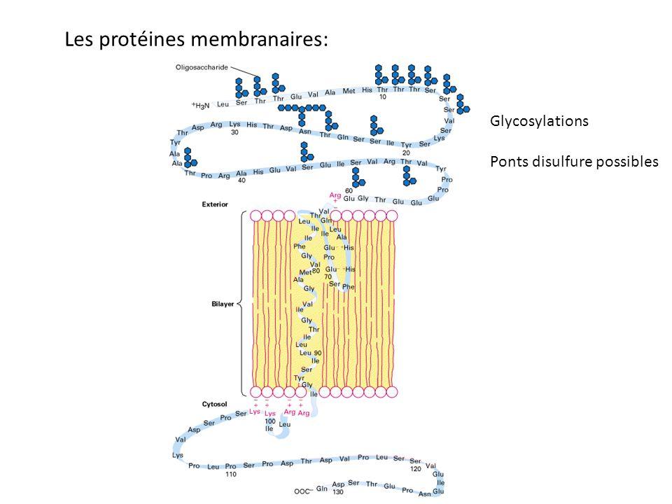 Les protéines membranaires: Glycosylations Ponts disulfure possibles