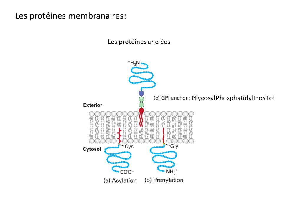Les protéines membranaires: : GlycosylPhosphatidylInositol Les protéines ancrées
