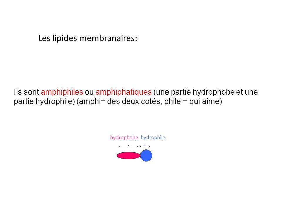 Ils sont amphiphiles ou amphiphatiques (une partie hydrophobe et une partie hydrophile) (amphi= des deux cotés, phile = qui aime) Les lipides membranaires: hydrophobehydrophile