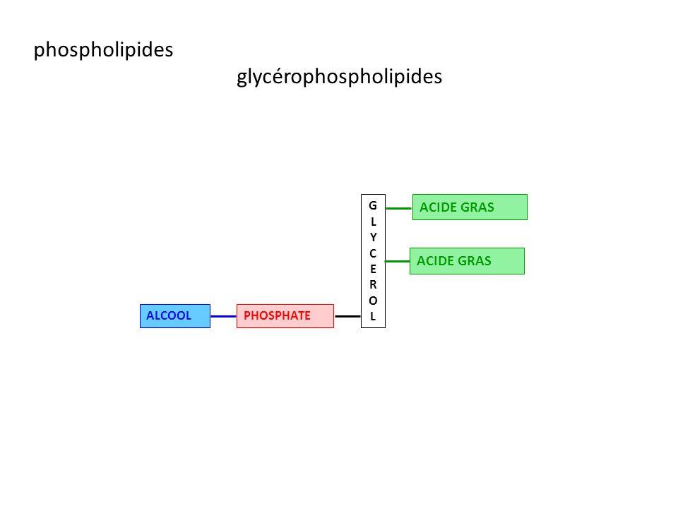 phospholipides glycérophospholipides GLYCEROLGLYCEROL ACIDE GRAS PHOSPHATEALCOOL