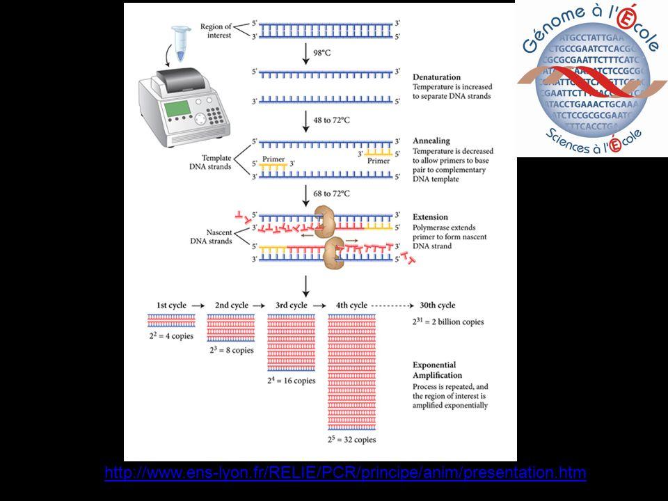 3) Electrophorèse de lADN amplifié