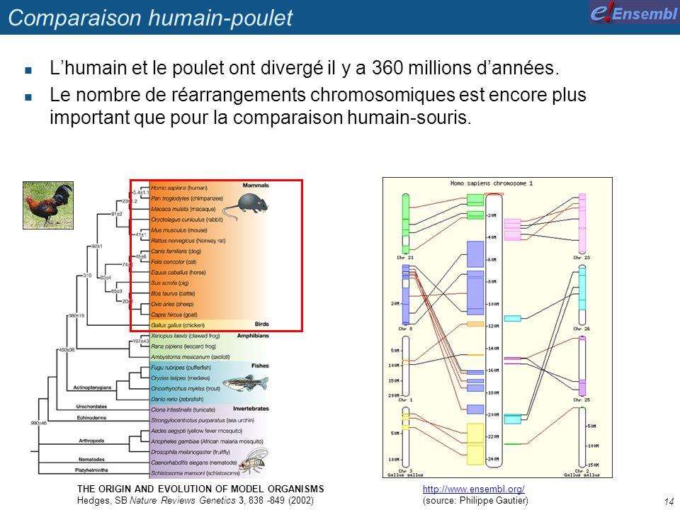 Comparaison humain-poulet Lhumain et le poulet ont divergé il y a 360 millions dannées. Le nombre de réarrangements chromosomiques est encore plus imp