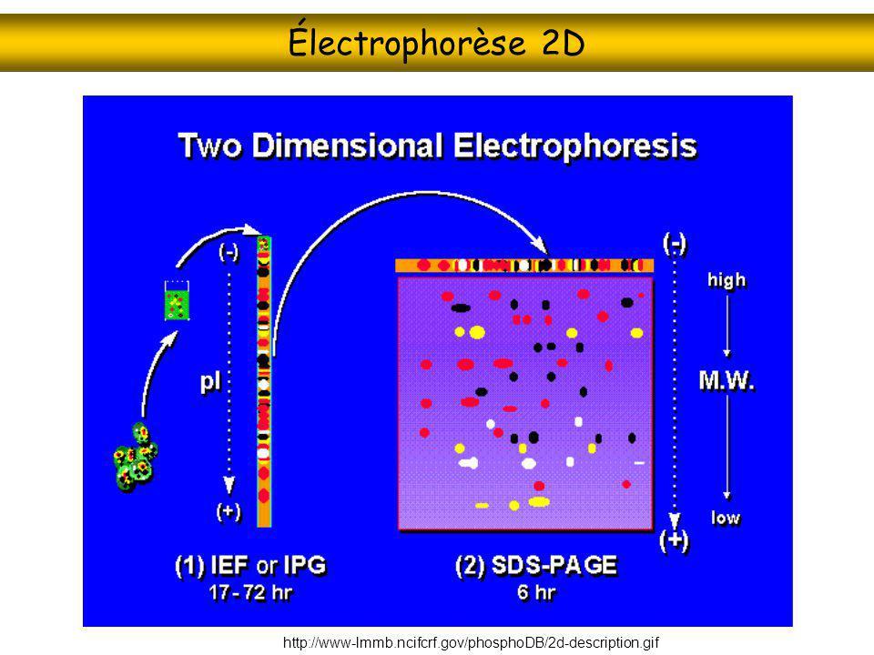 Électrophorèse 2D http://www-lmmb.ncifcrf.gov/phosphoDB/2d-description.gif