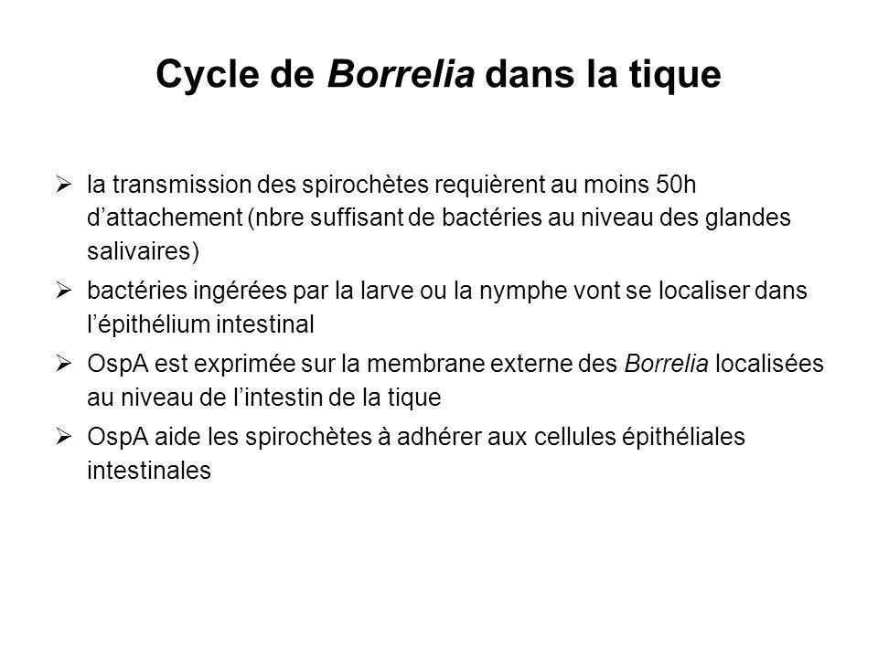 Cycle de Borrelia dans la tique la transmission des spirochètes requièrent au moins 50h dattachement (nbre suffisant de bactéries au niveau des glande