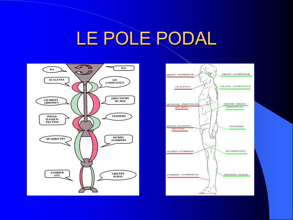 LE POLE PODAL Les chaînes musculaires ascendantes descendantes alternées complémentaires