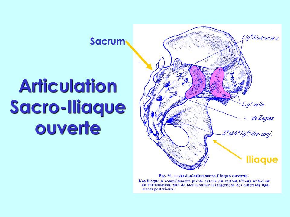 Sacrum. Haut Dehors Lombaires Iliaque Coccyx