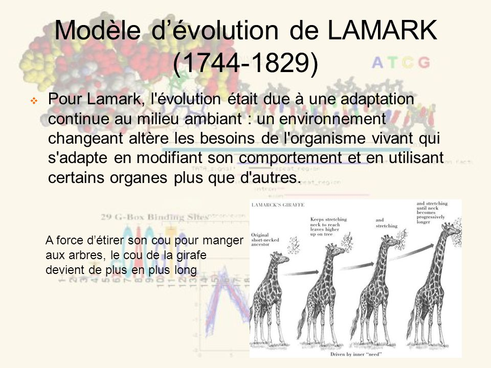 Modèle dévolution de LAMARK (1744-1829) Pour Lamark, l évolution était due à une adaptation continue au milieu ambiant : un environnement changeant altère les besoins de l organisme vivant qui s adapte en modifiant son comportement et en utilisant certains organes plus que d autres.