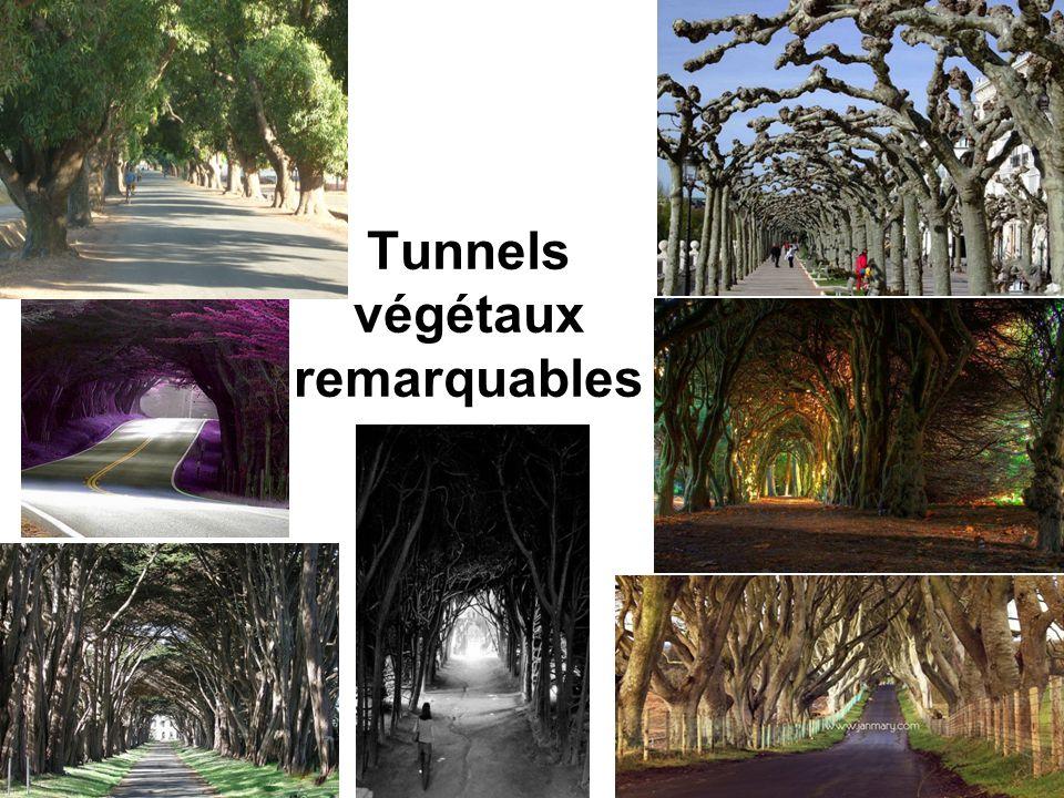 Tunnel des cerisiers en fleurs Allemagne Chaque printemps, une rue paisible, située dans la ville de Bonn, se transforme en un tunnel de fleurs de cerisier.