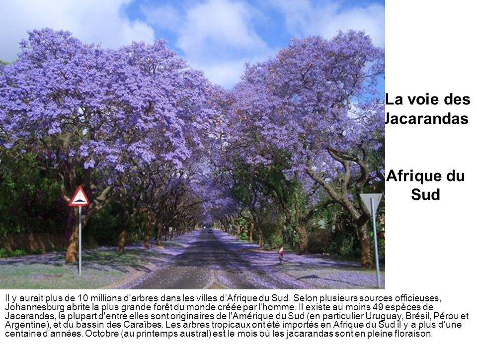La voie des Jacarandas Afrique du Sud Il y aurait plus de 10 millions d'arbres dans les villes dAfrique du Sud. Selon plusieurs sources officieuses, J