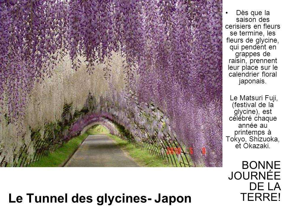 Le Tunnel des glycines- Japon Dès que la saison des cerisiers en fleurs se termine, les fleurs de glycine, qui pendent en grappes de raisin, prennent