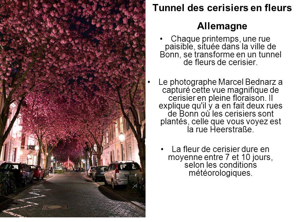 Tunnel des cerisiers en fleurs Allemagne Chaque printemps, une rue paisible, située dans la ville de Bonn, se transforme en un tunnel de fleurs de cer