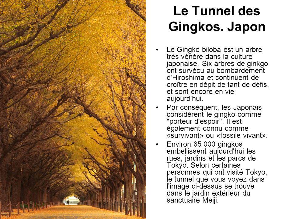 Le Tunnel des Gingkos. Japon Le Gingko biloba est un arbre très vénéré dans la culture japonaise. Six arbres de ginkgo ont survécu au bombardement dHi
