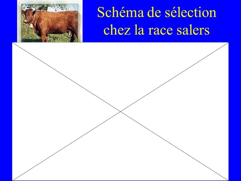 Schéma de sélection chez la race salers
