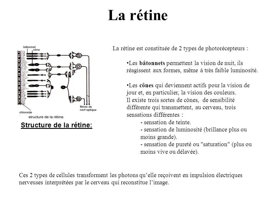 La rétine Structure de la rétine: La rétine est constituée de 2 types de photorécepteurs : •Les bâtonnets permettent la vision de nuit, ils réagissent