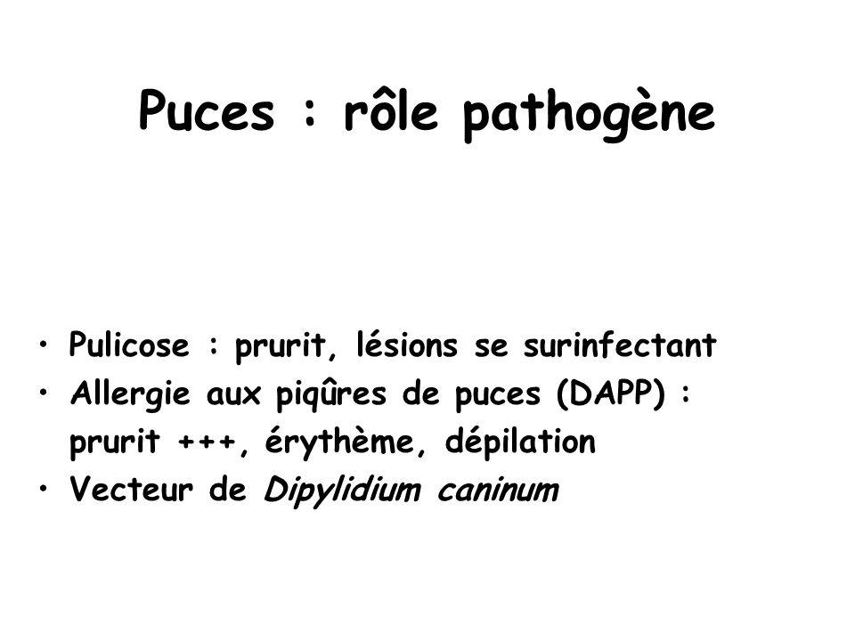 Puces : rôle pathogène •Pulicose : prurit, lésions se surinfectant •Allergie aux piqûres de puces (DAPP) : prurit +++, érythème, dépilation •Vecteur d