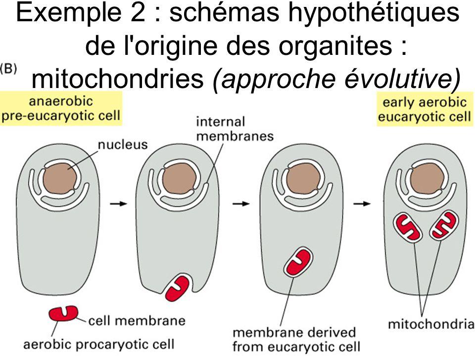 24 Fig 12-4B Exemple 2 : schémas hypothétiques de l'origine des organites : mitochondries (approche évolutive)