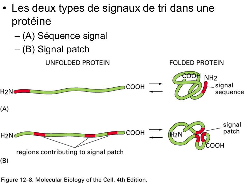 38 Fig 12-8 •Les deux types de signaux de tri dans une protéine –(A) Séquence signal –(B) Signal patch
