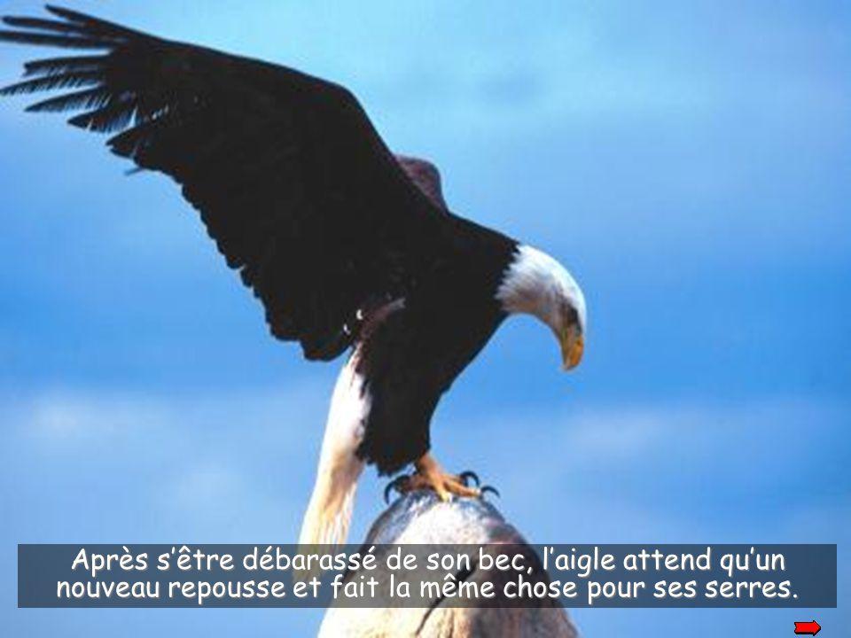 L'aigle frappe son vieux bec sur un rocher pour le casser et s'en débarasser.