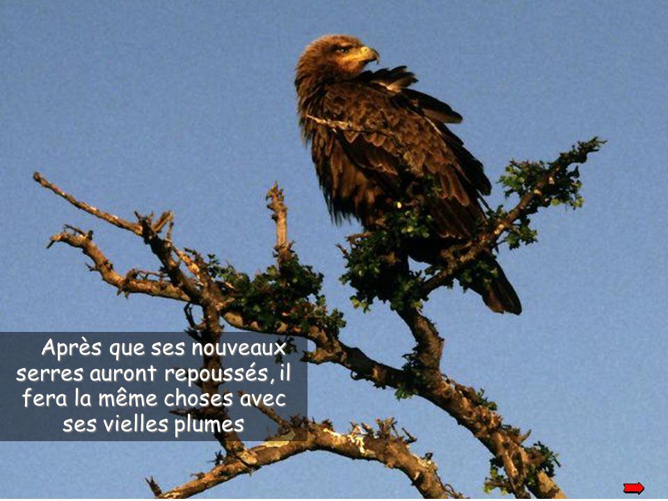 Après s'être débarassé de son bec, l'aigle attend qu'un nouveau repousse et fait la même chose pour ses serres.