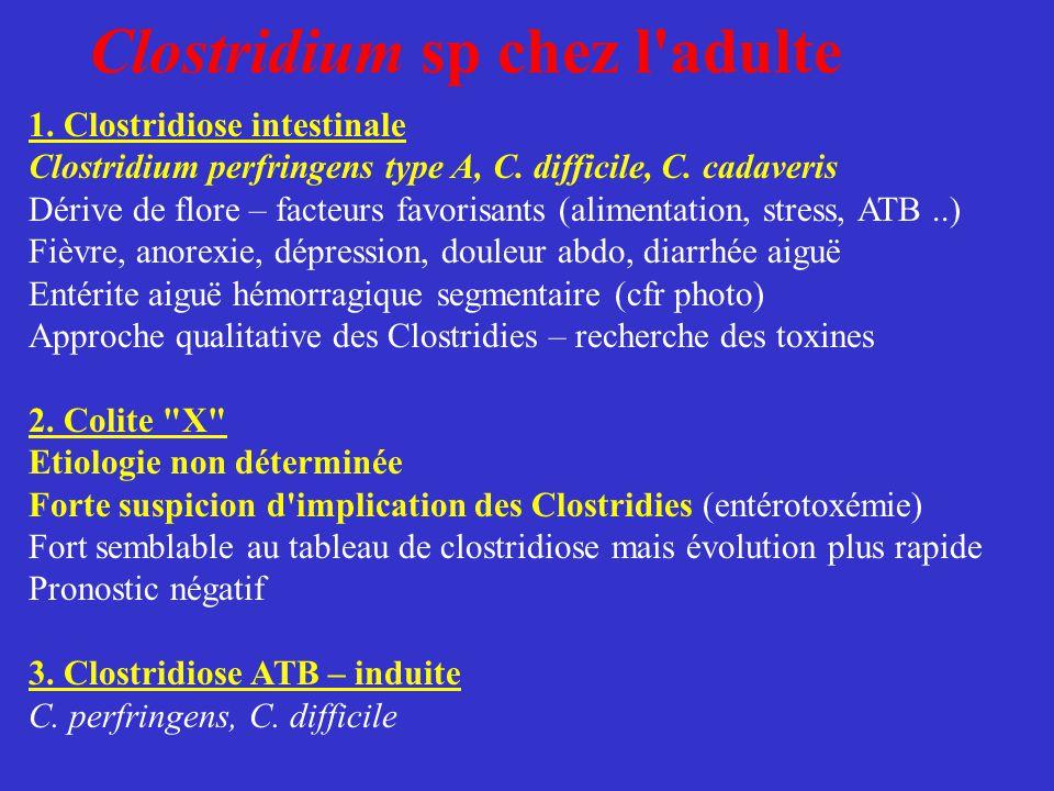 Clostridium sp chez l'adulte 1. Clostridiose intestinale Clostridium perfringens type A, C. difficile, C. cadaveris Dérive de flore – facteurs favoris