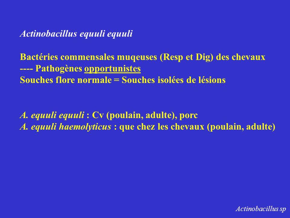 Actinobacillus equuli equuli Bactéries commensales muqeuses (Resp et Dig) des chevaux ---- Pathogènes opportunistes Souches flore normale = Souches is