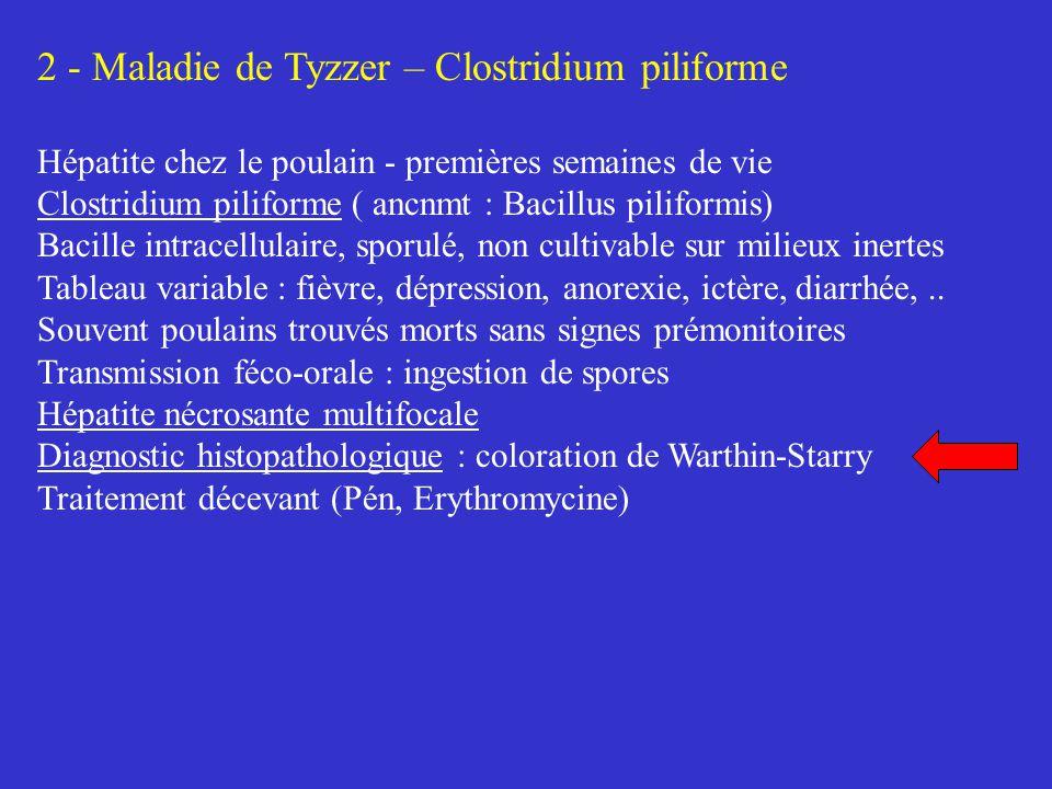 2 - Maladie de Tyzzer – Clostridium piliforme Hépatite chez le poulain - premières semaines de vie Clostridium piliforme ( ancnmt : Bacillus piliformi