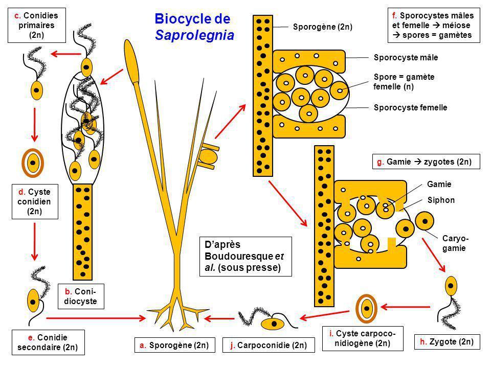 a. Sporogène (2n) b. Coni- diocyste c. Conidies primaires (2n) d. Cyste conidien (2n) e. Conidie secondaire (2n) f. Sporocystes mâles et femelle  méi