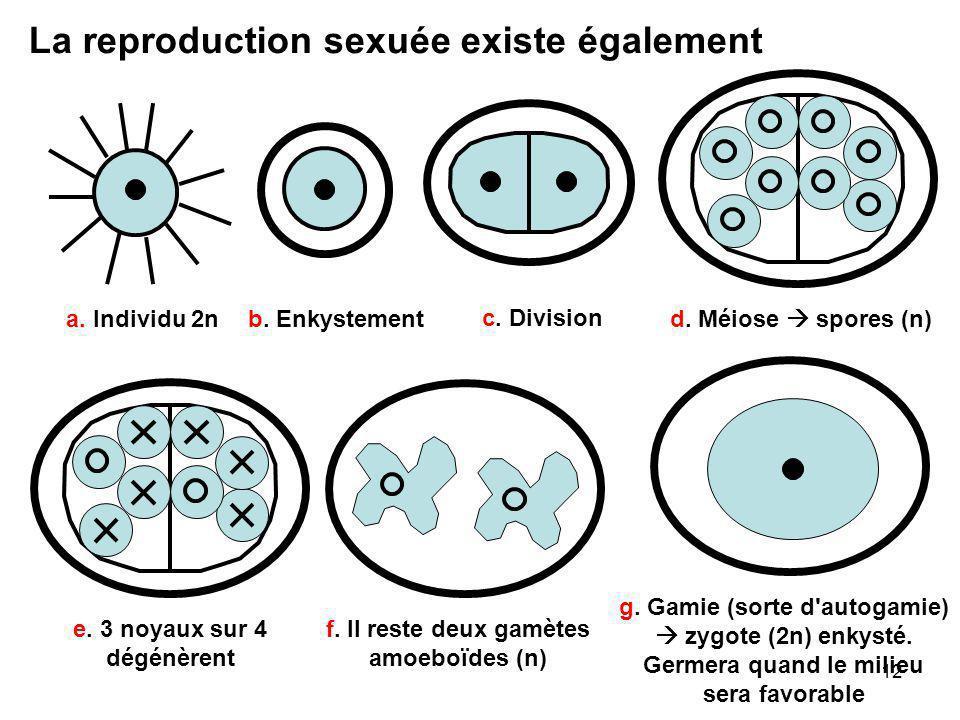 12 La reproduction sexuée existe également a. Individu 2n b. Enkystement c. Division d. Méiose  spores (n)e. 3 noyaux sur 4 dégénèrent f. Il reste de