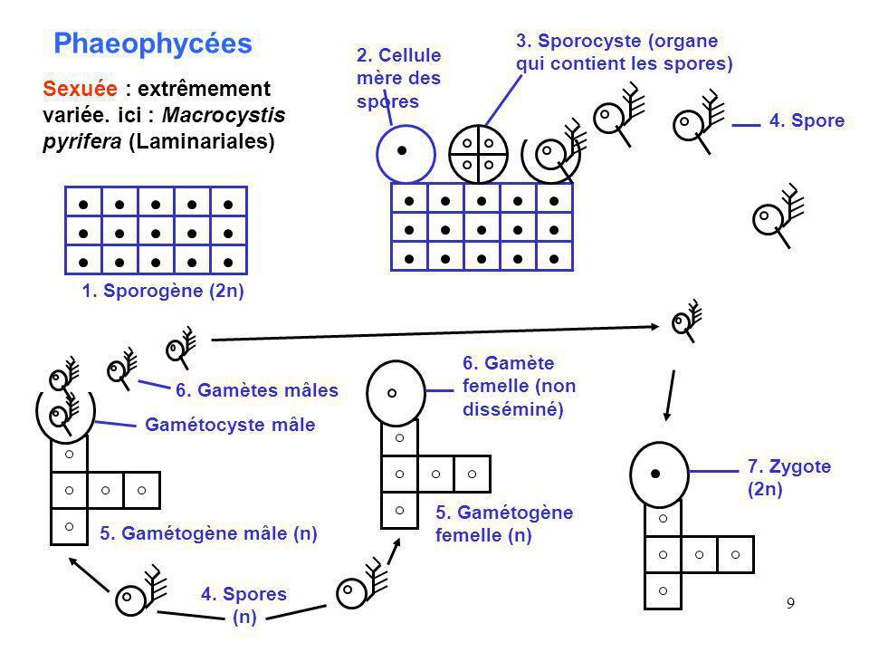 10 Les différents biocycles de Phaeophycées SS SSG G G G Ectocarpales Divers types de sporogènes (2n, 4n) et de ga- métogènes (n, 2n) se succèdent de façon irré- gulière, grâce à la gamie et à la méiose, mais aussi l auto-duplication des chromosomes S = sporogène G = gamétogène SG Ectocarpales Sphacélariales Dictyotales Alternance régulière entre un sporogène (2n) et un gamétogène (n) mâle et femelle morphologiquement identiques CutlérialesSG Le sporogène et le gamétogène, de taille similaire, sont morphologiquement différents S G Le sporogène est microscopique et le gamétogène macroscopique Scytosiphonales S G Le sporogène est macroscopique et le gamétogène microscopique Laminaria- les, Des- marétiales S G Fucales, Durvil- léales Le gamétogène est réduit à quelques cellules et est inclus dans le sporogène S Fucales Le gamétogène a disparu.