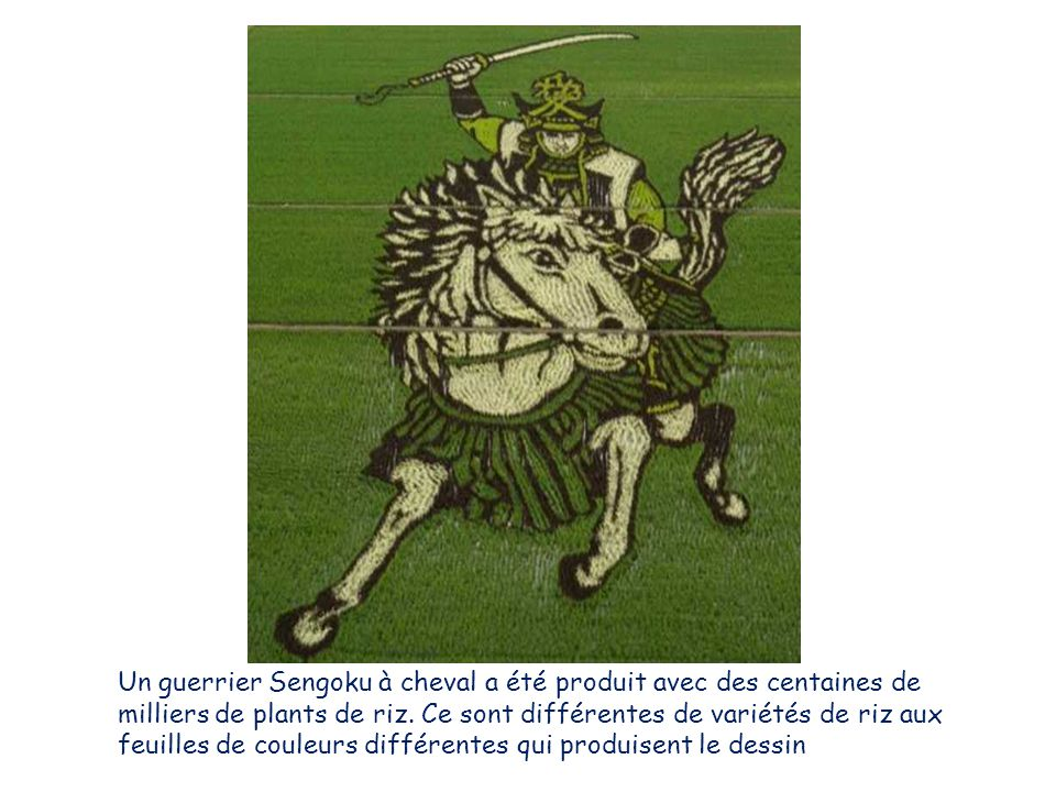 Un guerrier Sengoku à cheval a été produit avec des centaines de milliers de plants de riz. Ce sont différentes de variétés de riz aux feuilles de cou
