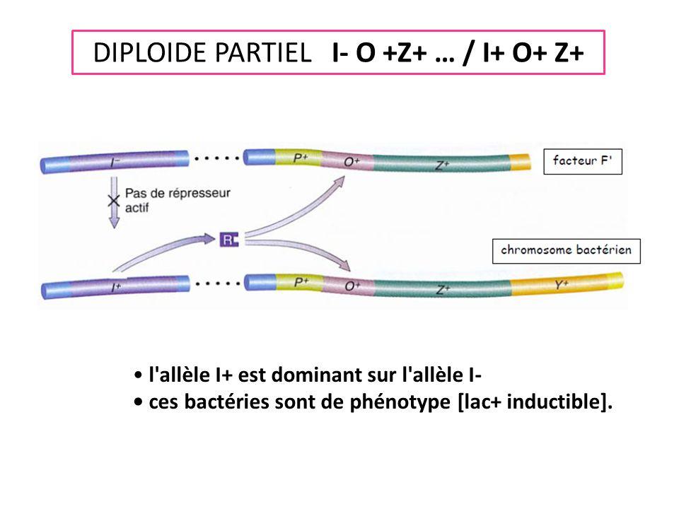 DIPLOIDE PARTIEL I- O +Z+ … / I+ O+ Z+ • l'allèle I+ est dominant sur l'allèle I- • ces bactéries sont de phénotype [lac+ inductible].