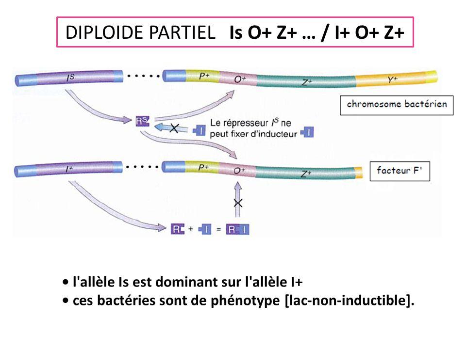DIPLOIDE PARTIEL Is O+ Z+ … / I+ O+ Z+ • l'allèle Is est dominant sur l'allèle I+ • ces bactéries sont de phénotype [lac-non-inductible].