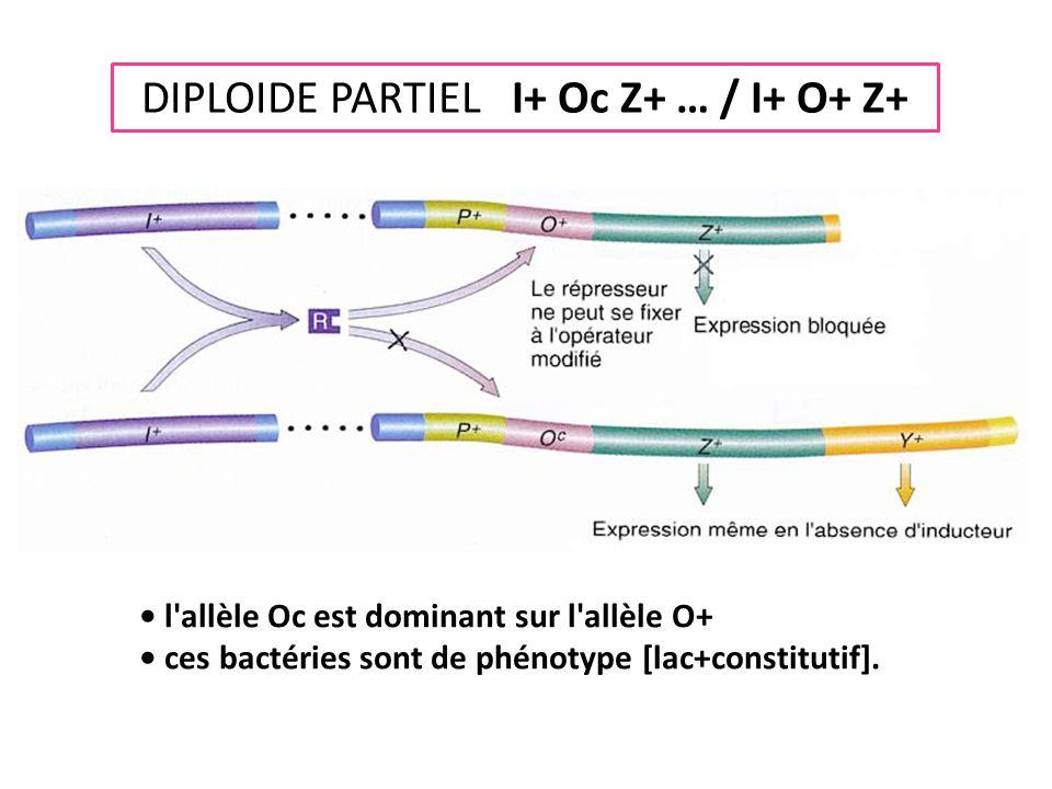 DIPLOIDE PARTIEL I+ Oc Z+ … / I+ O+ Z+ • l'allèle Oc est dominant sur l'allèle O+ • ces bactéries sont de phénotype [lac+constitutif].
