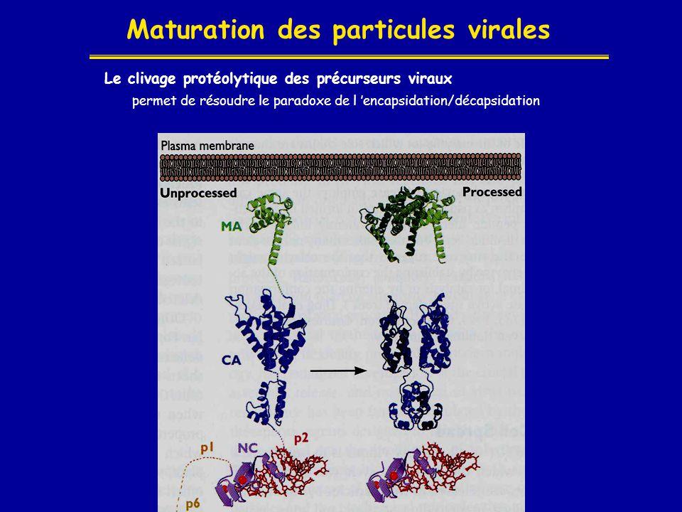 Maturation des particules virales Le clivage protéolytique des précurseurs viraux permet de résoudre le paradoxe de l 'encapsidation/décapsidation