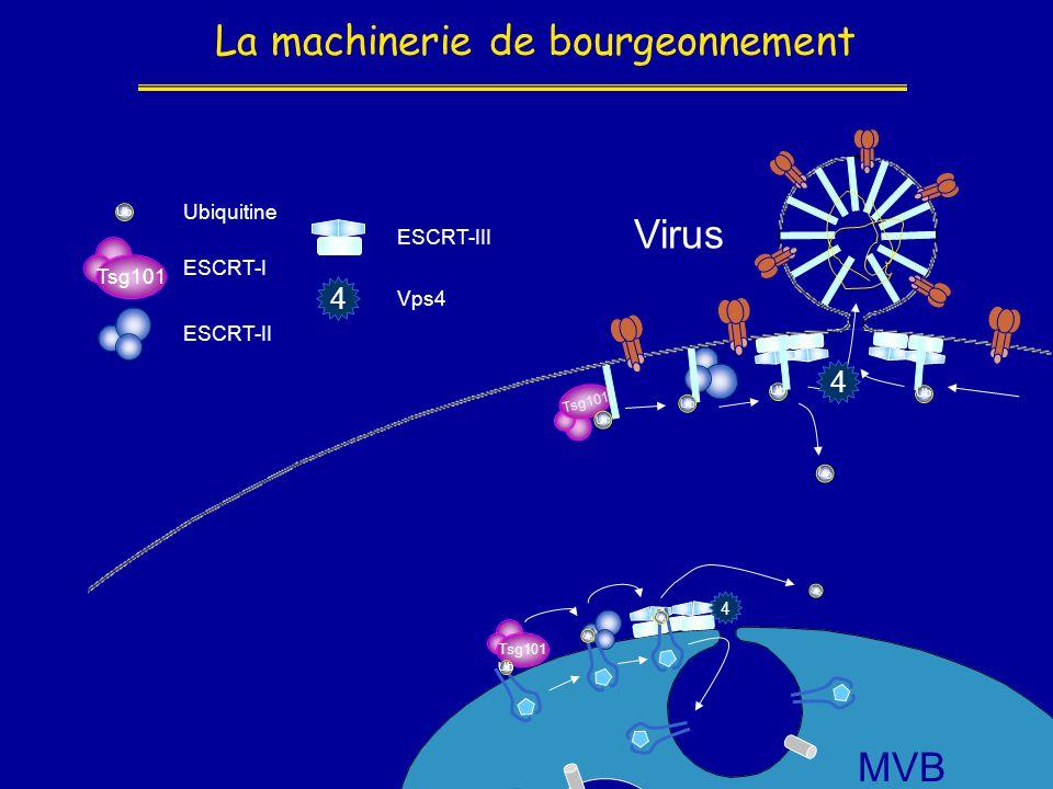 La machinerie de bourgeonnement Ub ESCRT-III Ub Tsg101 ESCRT-I Virus Ub Ubiquitine Ub ESCRT-II MVB Ub Tsg101 Ub 4 4 Vps4 4