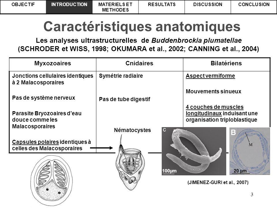 4 OBJECTIFINTRODUCTIONMATERIELS ET METHODES RESULTATSDISCUSSIONCONCLUSION Analyses moléculaires Alignement partiel d'ADNr 18S de Buddenbrockia et de Myxozoaires montrent que Tetracapsula bryozoides (Malacosporaires) et Buddenbrockia sont congénériques (MONTEIRO et al., 2002) Buddenbrockia USAGAGTGAAACTGCGGATAGCTCATTACAACGCCTACATT Buddenbrockia FranceGAGTGAAACTGCGGATAGCTCATTACAACGCCTACATT Buddenbrockia UKGAGTGAAACTGCNGATAGCTCATTACAACGCCTACATT Tetracapsula bryozoidesGAGTGAAACTGCGGATAGCTCATTACAACGCCTACATT Autres Myxozoaires_ _ _ _ _ _ _ _ _ _ _ _ _ _ _ _ _ _ _ _ _ _ _ _ _ _ _ _ _ _ GA