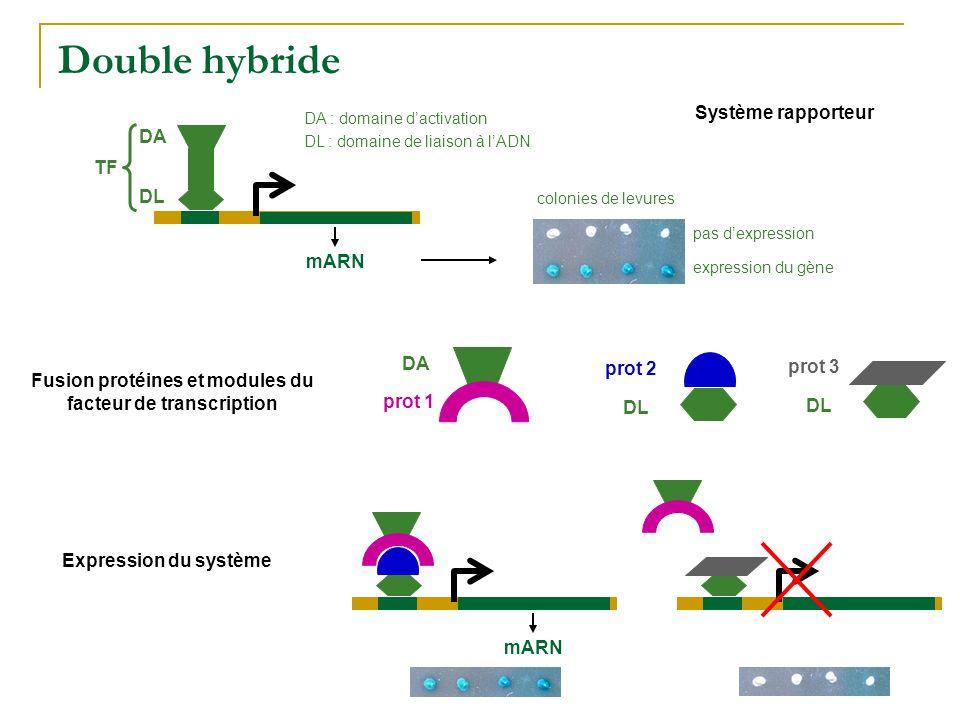 Double hybride DA DL mARN DA : domaine d'activation DL : domaine de liaison à l'ADN TF Système rapporteur Fusion protéines et modules du facteur de tr