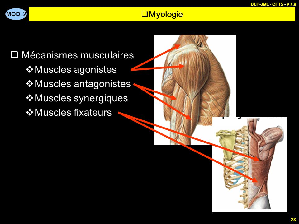 MOD. 2 BLP-JML - CFTS - v 7.9 28  Mécanismes musculaires  Muscles agonistes  Muscles antagonistes  Muscles synergiques  Muscles fixateurs  Myolo