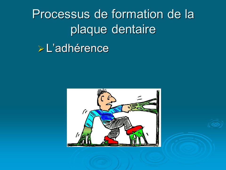 Processus de formation de la plaque dentaire  L'adhérence