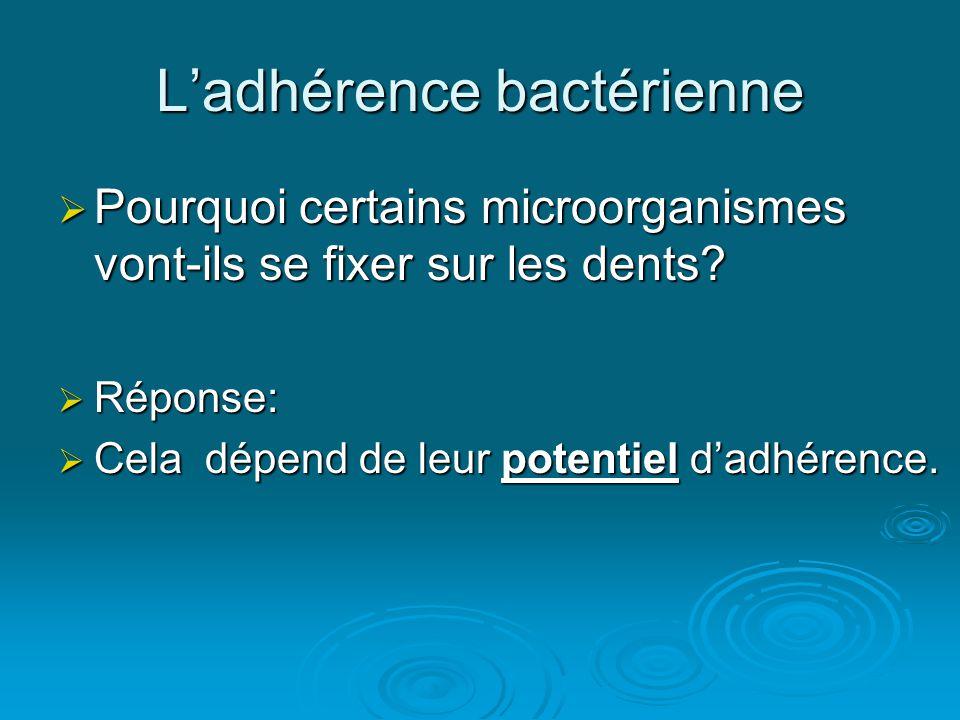 L'adhérence bactérienne  Pourquoi certains microorganismes vont-ils se fixer sur les dents?  Réponse:  Cela dépend de leur potentiel d'adhérence.