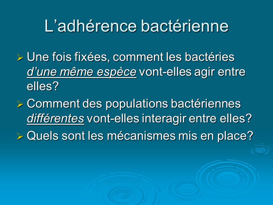 L'adhérence bactérienne  Une fois fixées, comment les bactéries d'une même espèce vont-elles agir entre elles.