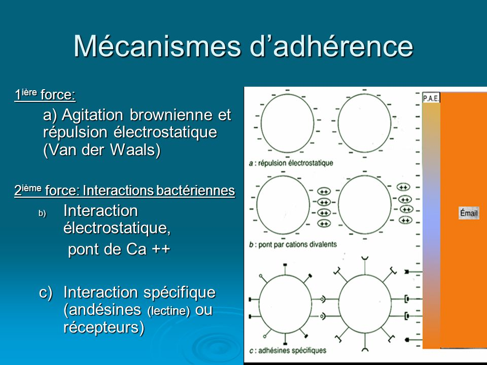 Mécanismes d'adhérence 1 ière force: a) Agitation brownienne et répulsion électrostatique (Van der Waals) 2 ième force: Interactions bactériennes b) Interaction électrostatique, pont de Ca ++ pont de Ca ++ c) Interaction spécifique (andésines (lectine) ou récepteurs)