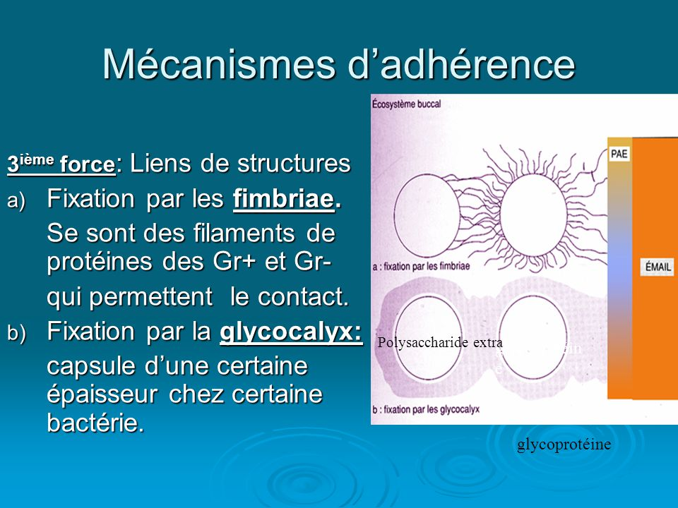 Mécanismes d'adhérence 3 ième force : Liens de structures a) Fixation par les fimbriae. Se sont des filaments de protéines des Gr+ et Gr- qui permette