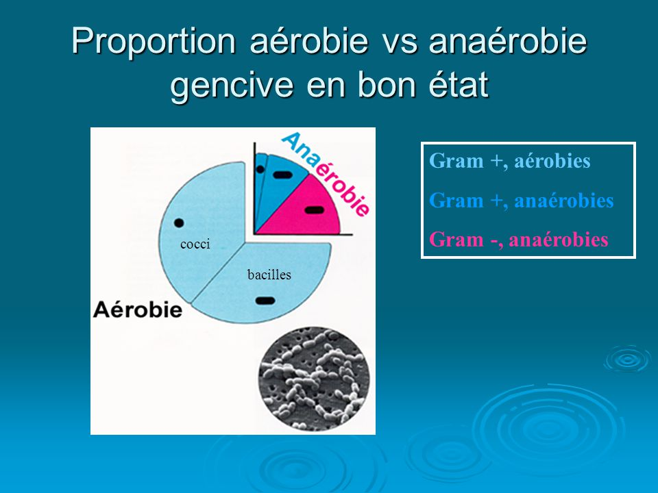 Proportion aérobie vs anaérobie gencive en bon état Gram +, aérobies Gram +, anaérobies Gram -, anaérobies cocci bacilles