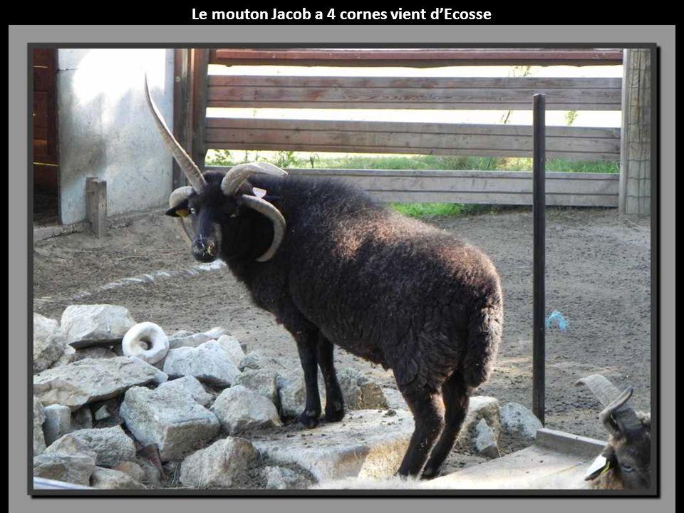 Le mouton Jacob a 4 cornes vient d'Ecosse