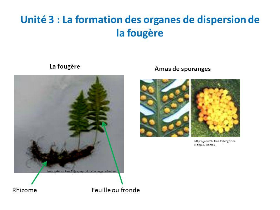 Unité 3 : La formation des organes de dispersion de la fougère http://jer4292.free.fr/blog/inde x.php?Sixieme1 Amas de sporanges http://44.svt.free.fr